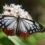 美しい渡り蝶 アサギマダラ